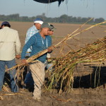 Walkers planting cane