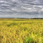Rice Fields -Morganza, Louisiana