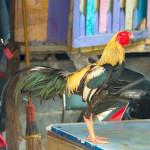 Rooster in Klong Toey Slum