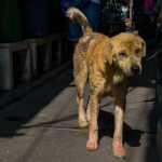 Mangey dog in Klong Toey Slum